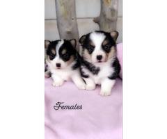 CKC registered corgi puppies