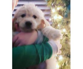 Nonshedding hypo Goldendoodle puppies