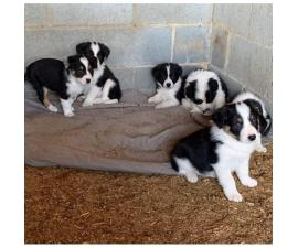 Registered  Border Collie Puppies  4 males and 2 females
