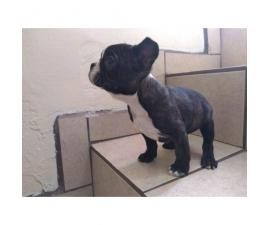 I've 4 female 1 male frenchton puppy available