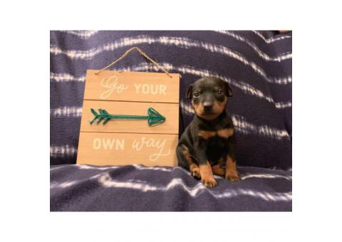 Black / Tan and blue merle Minature Pinscher Puppies