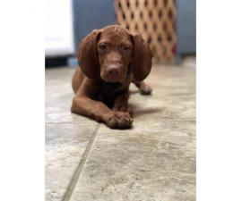 14 week old Vizsla puppies for sale