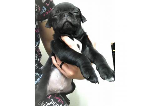 8 week old pug puppies (2 black females plus a black male) for sale