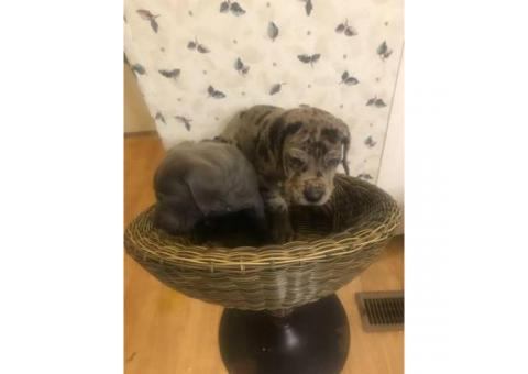 Full blooded european great dane puppies up for adoption