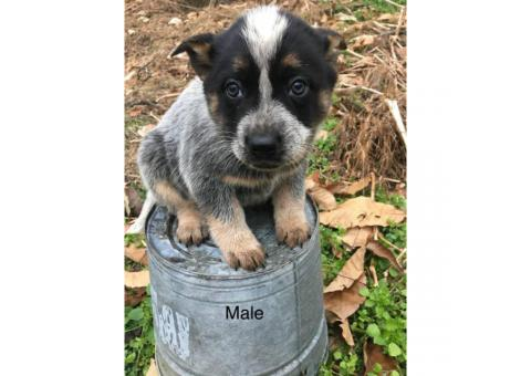 Full Blooded Blue Heeler Puppies