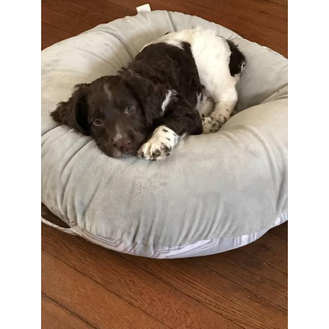 Liver And White Springer Spaniel Puppies Available In Lawrence Massachusetts Puppies For Sale