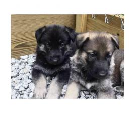 German Shepherd puppies. Six males and 7 females