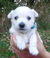 3 beautiful west highland terrier puppies for sale