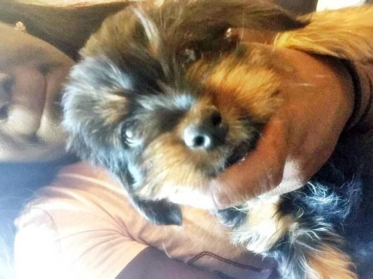yorkie puppies for sale in Memphis, Tennessee - Puppies ...