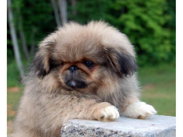 Buy pekingese puppy for sale in Alaska USA