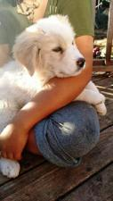 akbash anatolian shepherd cross for sale