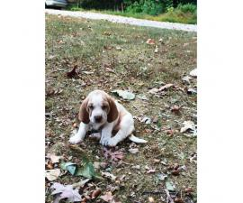 basset hound puppies for sale 6 males 4 females