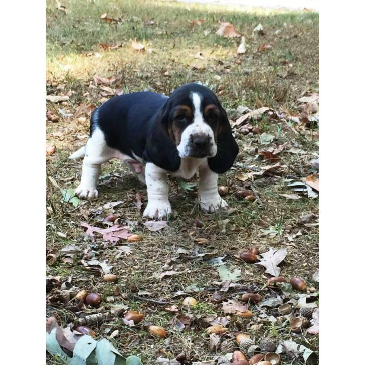 Basset Hound Puppies For Sale 6 Males 4 Females In Atlanta Georgia Puppies For Sale Near Me