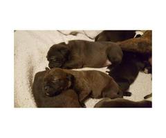 black lab pitbull mix (labrabull) puppies for sale