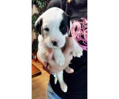English Springer Spaniel Pitbull Mix In Livonia Michigan Puppies For Sale Near Me