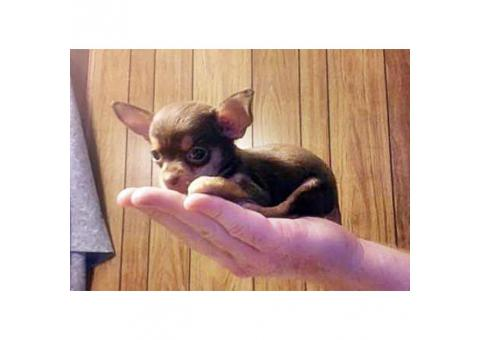 toy chihuahua puppies for sale california in Fresno