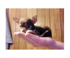 micro teacup chihuahua puppies for sale in california