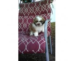 8 weeks old Shih Tzu puppy for sale