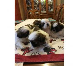 4 males and 1 female Shih-Tzu puppies available