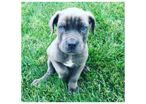 Cane Corso puppies for sale in CA