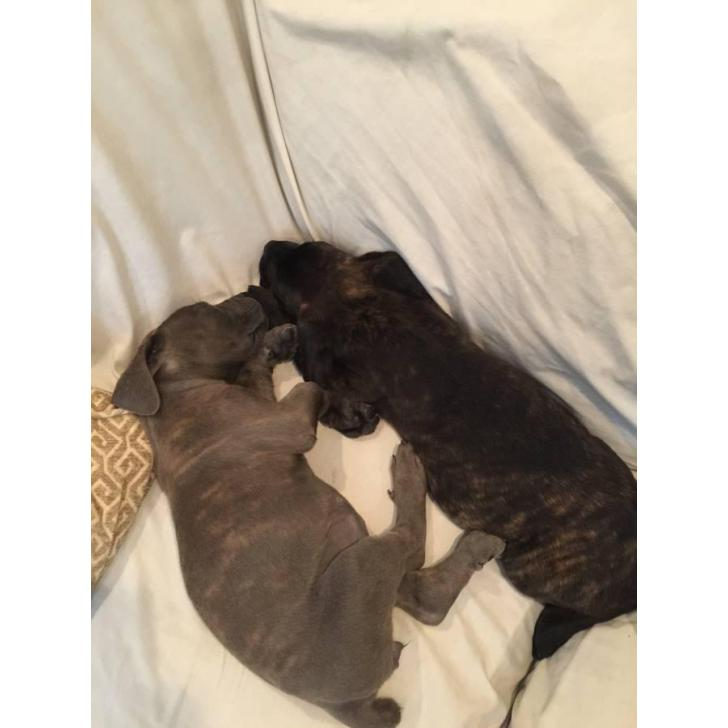 Cane Corso Puppies For Sale In Ca In Folsom California Puppies For Sale Near Me