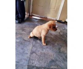 Goldador puppies for sale  incredibly playful