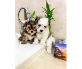 morkies for sale in ny