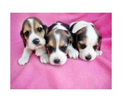 beagle puppies for sale in arizona