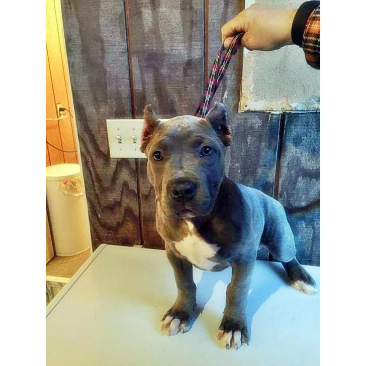 American Bully Puppies In Ny In Binghamton New York Puppies For Sale Near Me