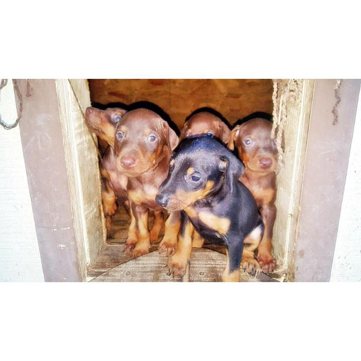 Doberman Puppies For Sale 9 Available Purebred In Atwater California Puppies For Sale Near Me
