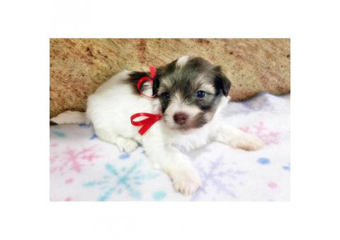 Havanese Pups for Sale in Florida
