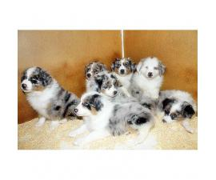 10 weeks old Australian Shepherd Puppies for sale