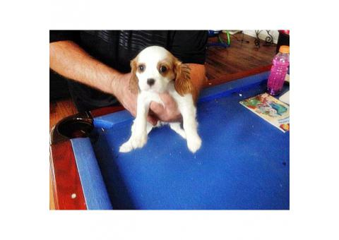 cavalier king charles spaniel puppies for sale ca