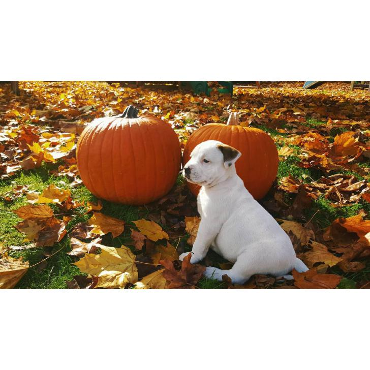 all american bulldog puppies for sale in Tacoma ...