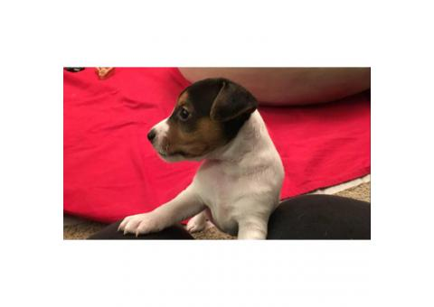 Adorable Beautiful Tri-color Males (2) and White and black Females (2), Jack Russell