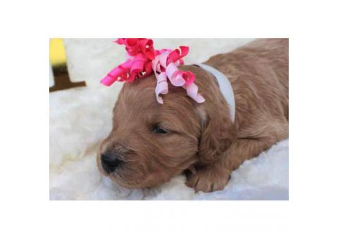 Beautiful Goldendoodle puppies available