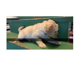 2 Goldendoodle F2 male puppies available