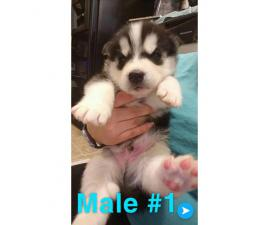Husky puppies Full AKC registration including Breeders Rights