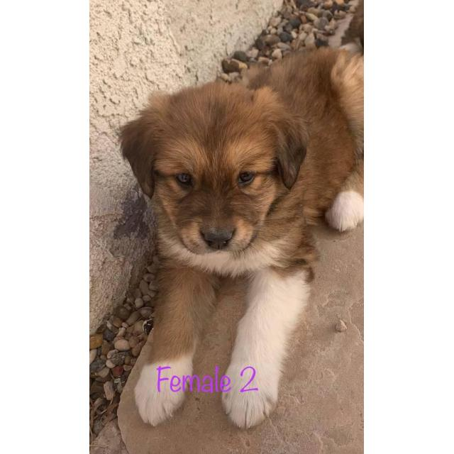 Alaskan Malamute St Bernard Pups Rehoming In Annapolis Maryland Puppies For Sale Near Me