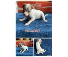 Rehoming my Rat Terrier Puppies