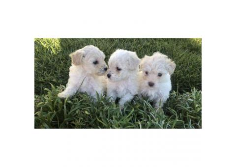 3 Gorgeous Maltipoo puppies ready for forever loving homes