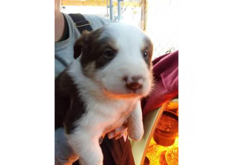 Border collie puppies, 7 pups available