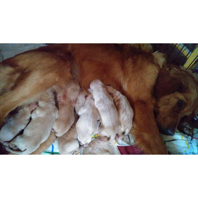Beautiful Blonde Golden Doodle Puppies In Parkston South