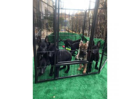 Black and sable German Shepherd puppies