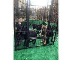 Black and sable German Shepherd puppies
