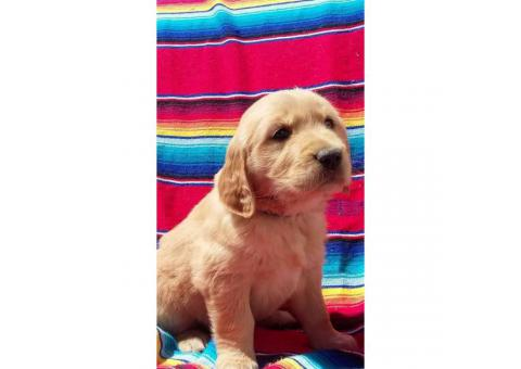 Golden Retriever Puppies All feature AKC registration