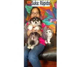 Alaskan Malamute pups , 3 puppies left