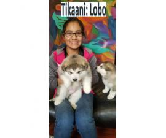 Alaskan Malamute pups , 3 puppies left