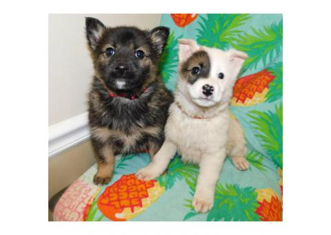 Norwegian Elkhound Mix With St Bernard Puppies In