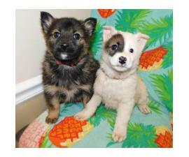 8 weeks old Norwegian elkhound mix puppies